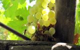 Green Grape by Apadana, Photography->Nature gallery