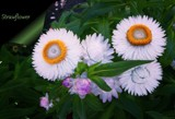 Paper Daisies by LynEve, photography->flowers gallery