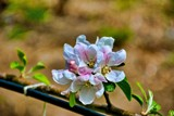 Apple Blossom Time by gr8fulted, photography->flowers gallery