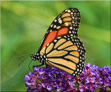 Monarch Beautiful by tigger3, photography->butterflies gallery