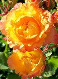 Peach Glow by BrandyAdams77, Photography->Flowers gallery