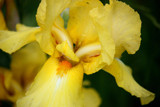 Yellow Iris by Flurije, Photography->Flowers gallery