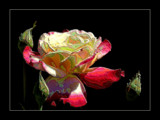 Lone Rose Meltdown by verenabloo, Photography->Manipulation gallery