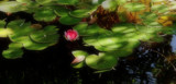 Shadowed Lily Pond by tigger3, photography->flowers gallery