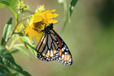 Summers Beauty by ghostrider2112, Photography->Butterflies gallery