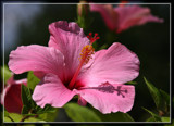 A Big Ol' Pink Foofy by Jimbobedsel, photography->flowers gallery