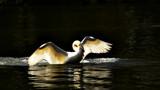 GRACEFUL SWAN by LANJOCKEY, Photography->Birds gallery