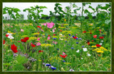 Summer Wildflowers 07 by corngrowth, Photography->Flowers gallery