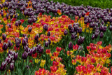 Mixed Tulips by Pistos, photography->flowers gallery