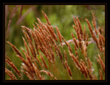 Vibrant Beach Grasses! by verenabloo, Photography->Nature gallery