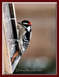 Downy Woodpecker by gerryp, Photography->Birds gallery