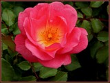 National Rose Month by trixxie17, photography->flowers gallery