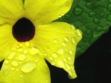 Black-eyed Susan Vine by zippee, Photography->Macro gallery