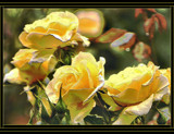 Sunshine Yellow Roses by verenabloo, Photography->Flowers gallery