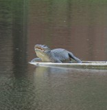 Living large on the lake by GomekFlorida, photography->reptiles/amphibians gallery