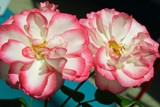 A Lovely TwoSome by jerseygurl, photography->flowers gallery