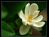 Magnolia  { Happy Birthday to Randy!!!!!!!} by madmaven, Photography->Flowers gallery