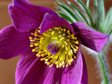 Pulsatilla by Paul_Gerritsen, Photography->Flowers gallery