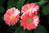 Gerbera Trio by LynEve, photography->flowers gallery