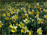 A host of golden daffodils . .  . by LynEve, Photography->Flowers gallery
