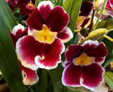 Pansy Orchids by trixxie17, photography->flowers gallery