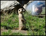 MEERKAT by GIGIBL, photography->animals gallery