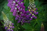 Lupins & Bee by LynEve, Photography->Flowers gallery