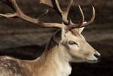 Deer by Paul_Gerritsen, Photography->Animals gallery