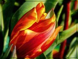 Tulip Study - Watercolor by Pat by trixxie17, photography->manipulation gallery