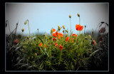 poppies by JQ, Photography->Flowers gallery