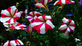 Candy Stripes by braces, photography->flowers gallery