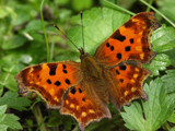 Comma butterfly by ekowalska, Photography->Butterflies gallery