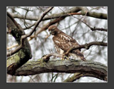 Red Tailed Hawk 4 by gerryp, Photography->Birds gallery