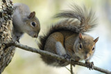 Squirrels by Paul_Gerritsen, Photography->Animals gallery