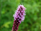 Liatris spicata by Hottrockin, Photography->Flowers gallery