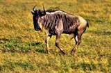 Wildebeest by WTFlack, photography->animals gallery