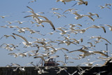 Essaouira ........the birds (part 2) by fogz, Photography->Birds gallery