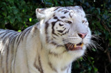 White Tiger by Paul_Gerritsen, photography->animals gallery