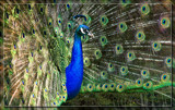 Proud Peacock 4 by Jimbobedsel, Photography->Birds gallery