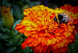 Buzzing on orange by LynEve, photography->nature gallery