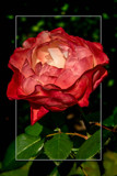 Rose Garden 02 by corngrowth, photography->flowers gallery