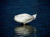 Headless Swan by rvdb, photography->birds gallery