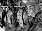 Seed Pods by CDHale, contests->b/w challenge gallery