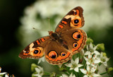 The Buckeye Butterfly On Flower by tigger3, photography->butterflies gallery