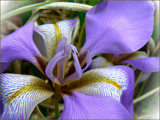 Iris by LynEve, Photography->Flowers gallery