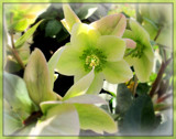 Lenten Rose by trixxie17, photography->flowers gallery