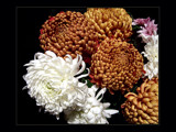 Chrysanthemums by LynEve, Photography->Flowers gallery
