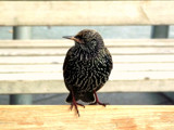 Starling by faymous, photography->birds gallery