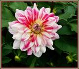 Peppermint Dahlia by trixxie17, photography->flowers gallery