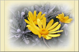 Winter Daisies by LynEve, Photography->Flowers gallery